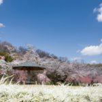 2020豊田市)水源公園の桜まつり見頃予想。ライトアップ、駐車場や屋台、トイレまとめ
